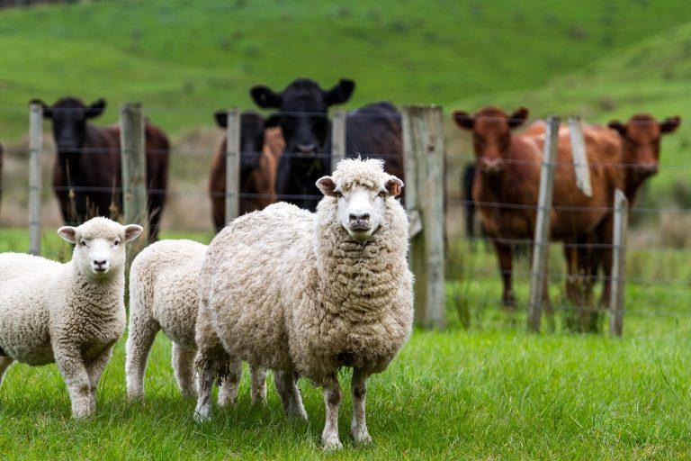Livestock in a field