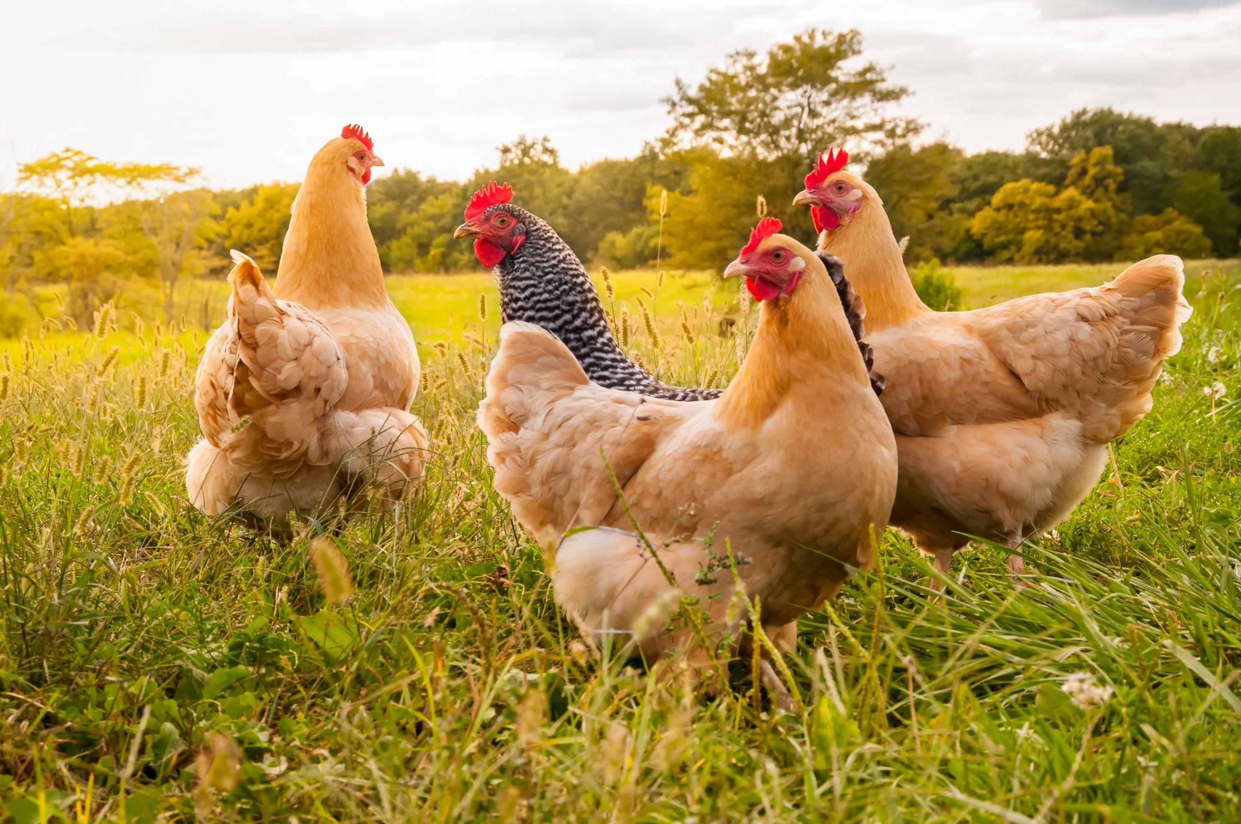 Freerange chickens in a field.