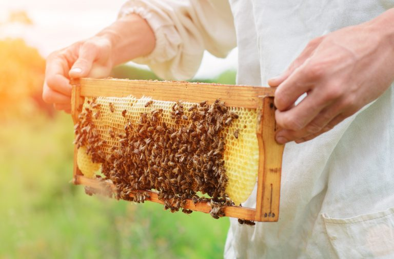 Bee-keeper holds a honeycomb covered in bees.